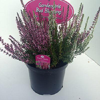 Irish Heather Pot (1.5ltr)