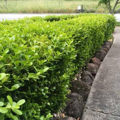 Buxus Bare Root Hedging