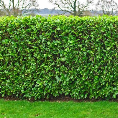Laurel Bare Root Hedging