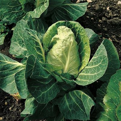 Cabbage April