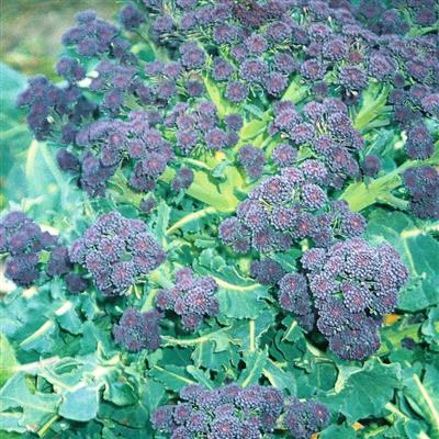 Broccoli Early Purple Sproutin